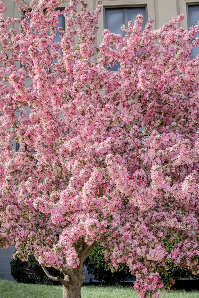 Pink Blossom 4