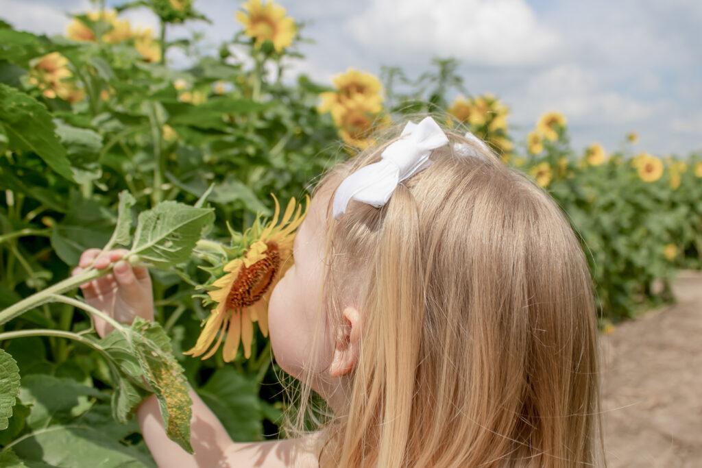 Sunflower Fields 5
